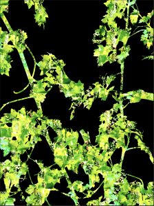 Cabernet Sauvignon Vine   Digital Art   Susan Searway-Fertig