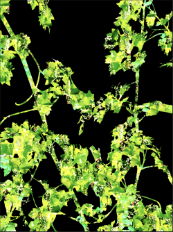 Cabernet Sauvignon Vine | Digital Art | Susan Searway-Fertig