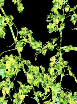 Cabernet Sauvignon Vine | Digital Art | Susan Searway-Fertig