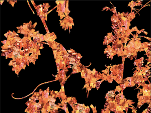 Cabernet Sauvignon Vine 3 | Digital Art | Susan Searway-Fertig