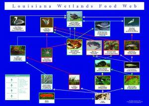foodweb LA wetlands educational poster