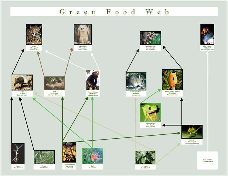 foodweb rainforest educational materials