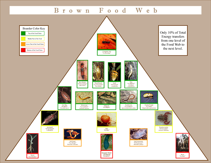 foodweb rainforest poster graphic design