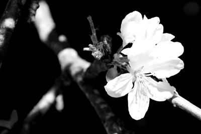 Apple Tree Blossoms 3