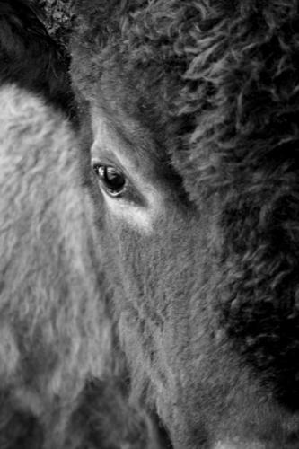 Bison | Buffalo 1