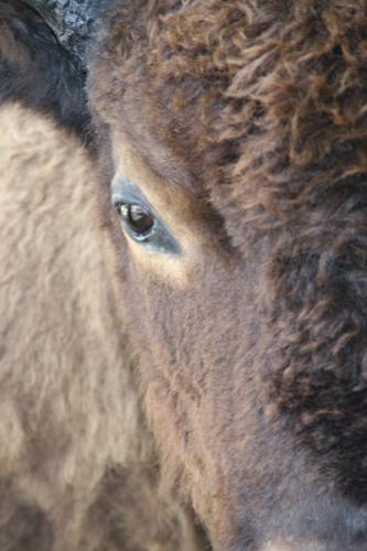 Bison | Buffalo 2