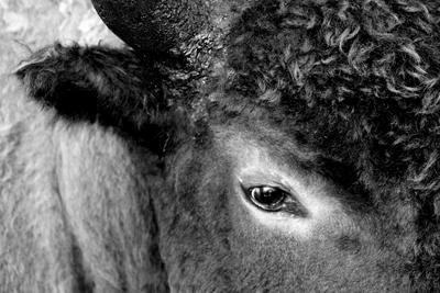 Bison | Buffalo 3
