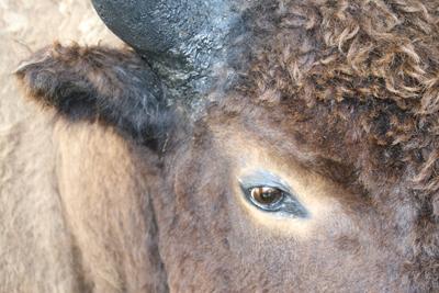 Bison | Buffalo 4