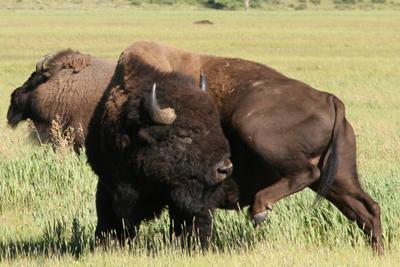 Bison | Buffalo 28