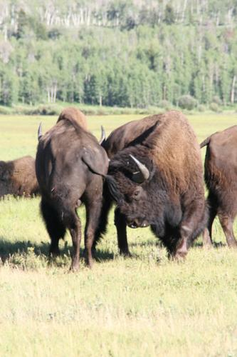 Bison   Buffalo 33