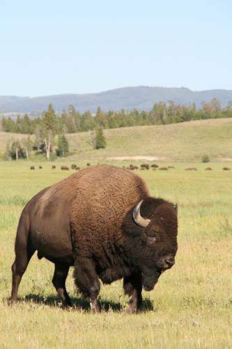 Bison | Buffalo 5