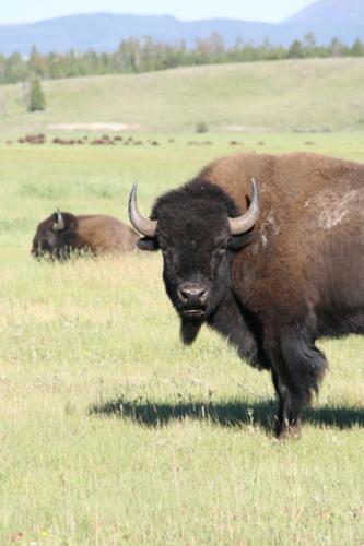 Bison | Buffalo 6