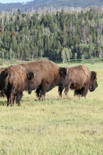 Bison   Buffalo 32