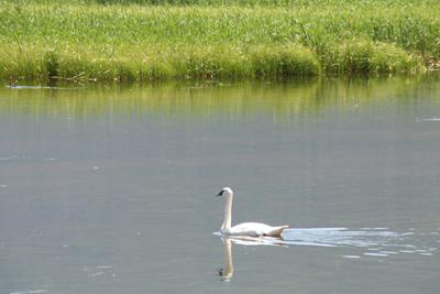 White Swans 1