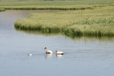 White Swans  2