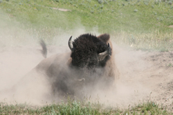 Bison | Buffalo 17