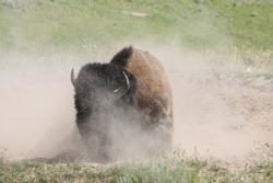 Bison | Buffalo 18