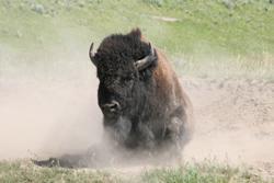 Bison | Buffalo 19