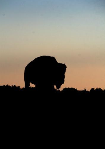 Bison | Buffalo 13