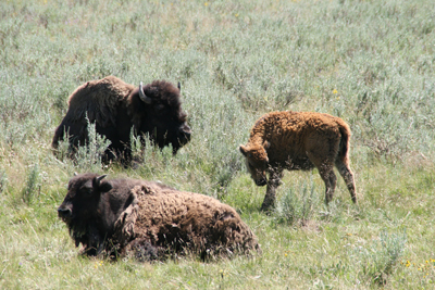 Bison | Buffalo 7