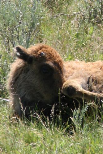 Bison | Buffalo 9