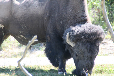 Bison | Buffalo 30