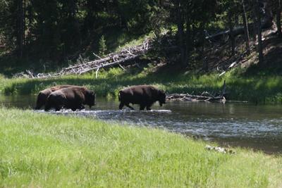 Bison   Buffalo 38