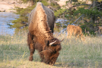 Bison | Buffalo 15
