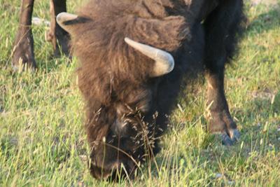 Bison   Buffalo 31