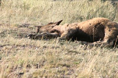 Bison | Buffalo 12