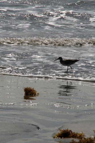 Shore Bird 1