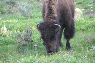 Bison | Buffalo 16