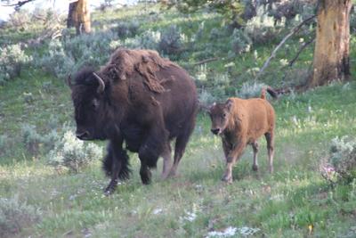Bison | Buffalo 24