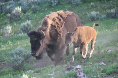 Bison | Buffalo 25