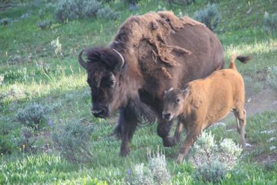 Bison | Buffalo 26