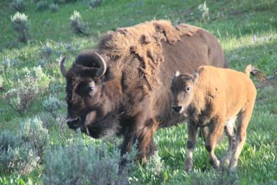 Bison | Buffalo 27