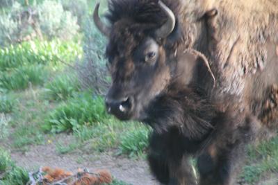 Bison | Buffalo 23