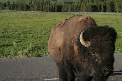 Bison | Buffalo 22