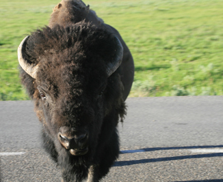 Bison | Buffalo 21