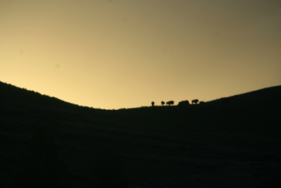 Bison | Buffalo 14