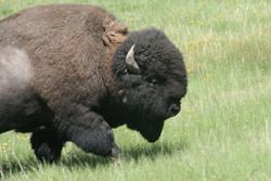 Bison   Buffalo 34