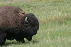 Bison   Buffalo 35