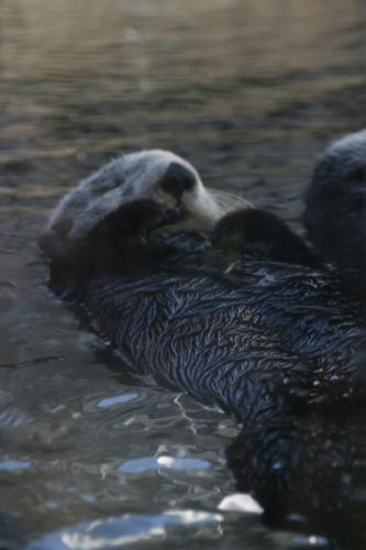 Sea Otters 5