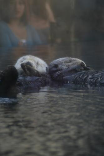 Sea Otters 2