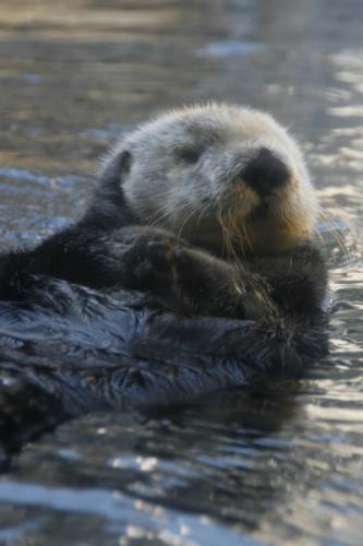 Sea Otters 1