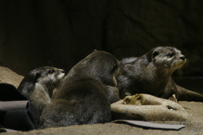 River Otters 1